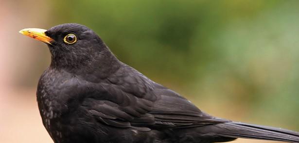 top-10-garden-birds