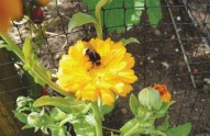 bee-on-calendula