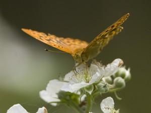 bedfdperliusflora