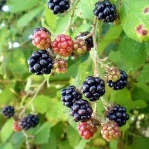 rasclatberrys