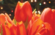 tulips-CREDIT-Ctd-2006