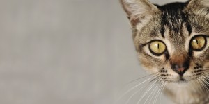 Cats Protection Peterborough homing show, Sunday, 9 February, 2 – 3 pm, Loxley Community Centre, Werrington