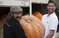 Giant organic pumpkins specially grown for Riverford's Pumpkin Day