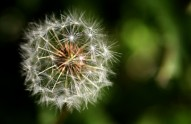 dandelion_stock