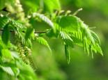 greentree