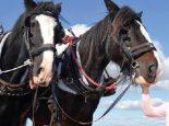 Apple the Suffolk horse